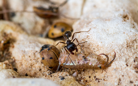 hard-working strong black ant drags a dead centipede into an anthill