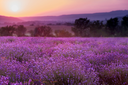 Plantation of lavender. Flowers of fragrant lavender closeup on a sunset background.