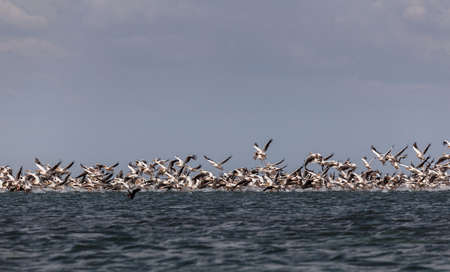 Migration of pink pelicans Stock Photo