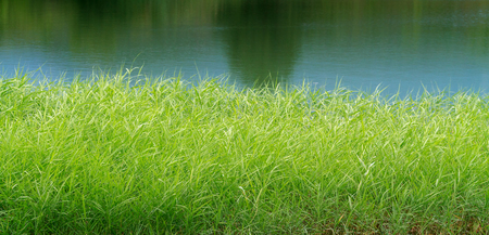 green reeds on Lake Stock Photo