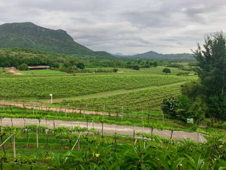 View of vineyard grape plantation in mountain range in Thailand.