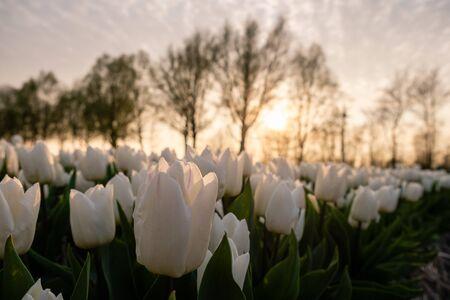 Tulip flower field during sunset in the Netherlands, white tulips with on the background windmills, Noordoostpolder Flevoland Europe