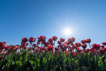 red orange tulip flowers, fresh flower field in the Noordoostpolder Netherlands Flevoland