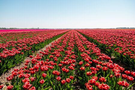 Tulpenbloemveld in de Noordoostpolder van Nederland tijdens zonsondergangschemering Flevolands, kleurrijke lijnen van tulpen Europa Stockfoto