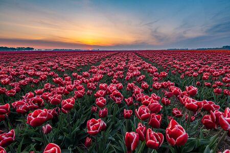 Champs de tulipes aux Pays-Bas avec en arrière-plan le parc du moulin à vent dans l'océan Pays-Bas, tulipes hollandaises colorées
