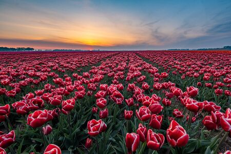 Tulip fields in the Netherlands with on the background windmill park in ocean Netherlands, colorful dutch tulips