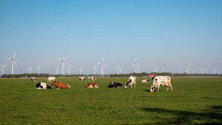 Dutch cows during Spring in the Netherlands with on the background windmills in the Noordoostpolder Netherlands Flevoland Zdjęcie Seryjne