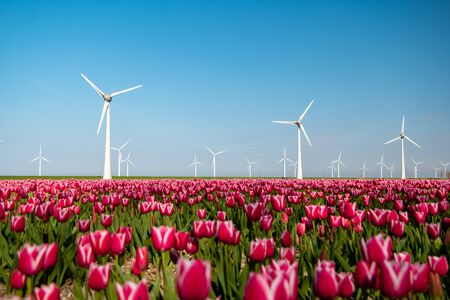Windmill park turbines, red tulip flower field in the Netherlands, wind mill with flowers green energy