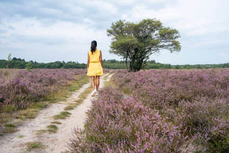Blooming heather field in the Netherlands near Hilversum Veluwe Zuiderheide, blooming pink purple heather fields in the morniong with mist and fog during sunrise Netherlands Europe Standard-Bild