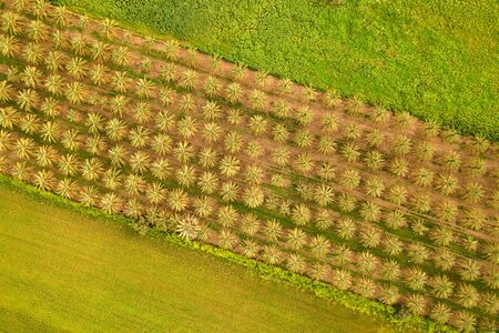 top view of the date palms and fields of the Israeli kibbutz