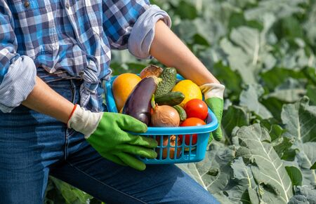 woman holds in her hands a basket with vegetables collected in the field. fragment of a figure and hands in protective rubber gloves