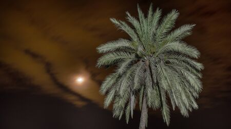the top of a palm tree in the night and clouds with the moon in the dark sky. tall tree in the night and clouds with moon in the dark sky