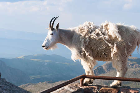 proudly: A mountain goat stand proudly, high in the rocky mountains
