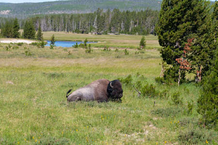 hayden: Bison sitting on grass at Yellowstone National Park in Wyoming, US