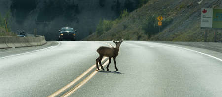 Deer walks across highway on a blind curve