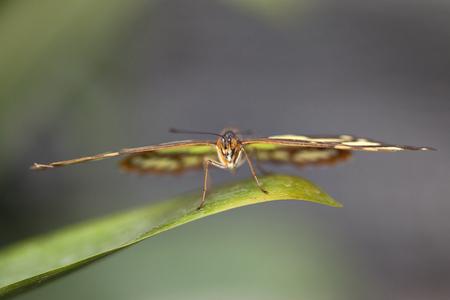malachite: Malachite Butterfly