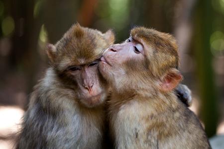 couple cuddling: barbary apes Stock Photo
