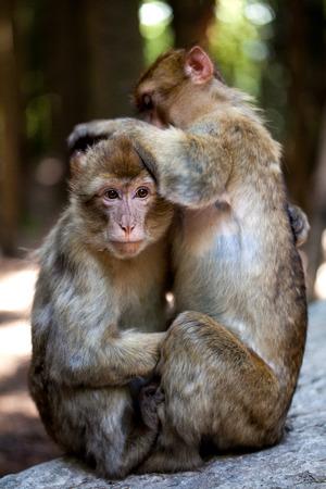barbary: barbary apes Stock Photo