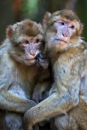 africa kiss: barbary apes Stock Photo