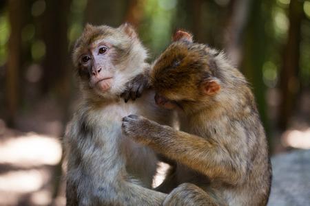apes: barbary apes Stock Photo