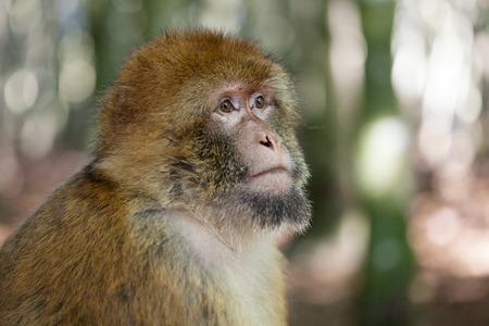 barbary ape: Barbary ape