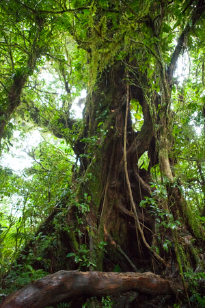 uncouth: Tree in the Monteverde cloud forest, Costa Rica