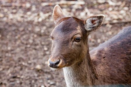 Portrait of European Red deer (Cervus elaphus) in the forest