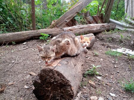 Domestic cats on the soil in the yard. Ginger cat and tabby cat. Imagens