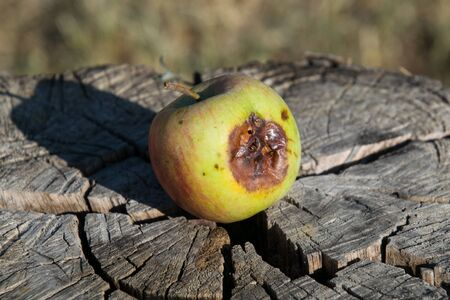 Rotten apple on a stump. Defeat apples. Spoiled crop.