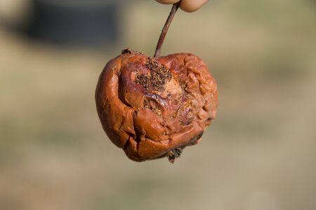 Rotten apple. a Defeat apples Spoiled crop Reklamní fotografie