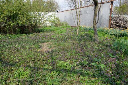 Flowering in the spring garden. carpet of flowers. Lamium purpureum