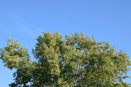Silver poplar in May, green leaves of silver poplar, tree on the Kuban.