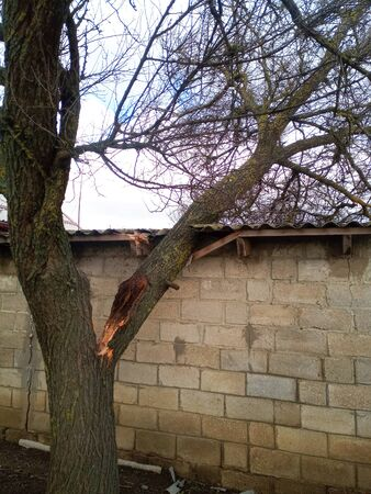A windbroken apricot tree fell on the shed and broke the roof. 免版税图像