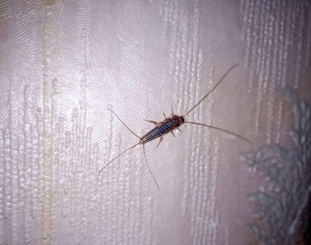 Insect silverfish on old wallpaper. paper pest.