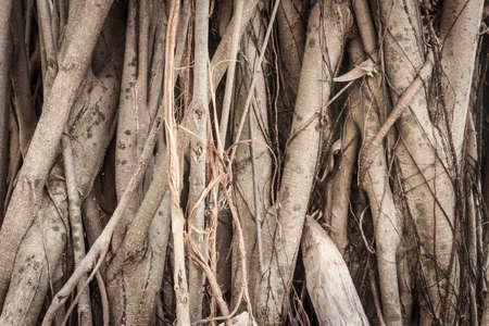 banyan: banyan tree texture background