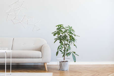 Minimalistic and stylish interior of open space with design gray sofa, coffee table, big plant, accessories. Gray background walls, brown wooden parquet. Modern concept of room. Template. Copy space.