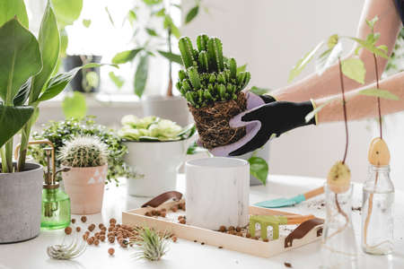 Vrouw tuinders verplanten cactussen in keramische potten op de witte houten tafel. Concept van huis tuin. Lente tijd. Stijlvol interieur met veel planten. Thuisplanten verzorgen. Sjabloon. Stockfoto