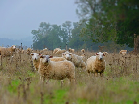 Sheep Feeling observed? A flock of sheep staring at the camera. The picture was taken in Osorno, Chile