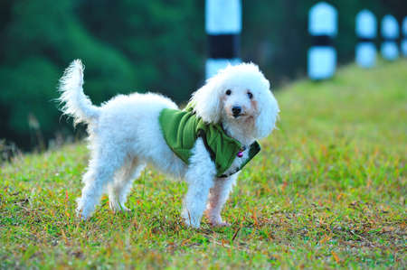 Cute poodle dog on the green grass field Stock Photo - 13596601