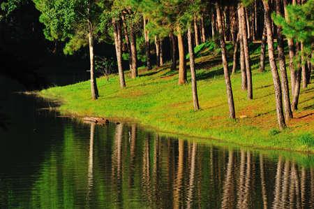 Pine tree forest at Pang-ung lake, Maehongson, North Thailand photo