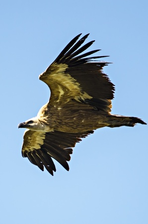 bove: Great vulture with large wings flying in the sky Stock Photo