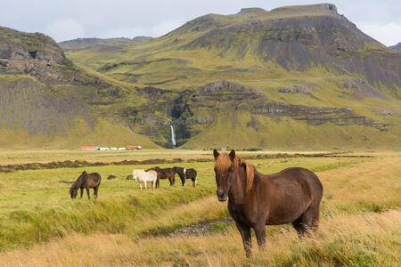 icelandic: Icelandic horses grazing on the grass Stock Photo