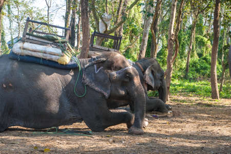 domesticated: Domesticated elephant resting, Chitwan National Park, Nepal