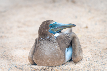 boobie: Blue Footed Booby (Sula nebouxii) sitting on nest in North Seymour Island, Galapagos National Park, Ecuador