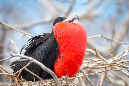 Male Magnificent Frigate bird (Fregata magnificens) With inflated throat pouch on North Seymour Island, Galapagos National Park, Ecuador