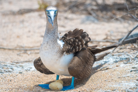 boobies: Blue Footed Booby (Sula nebouxii) sitting on nest in North Seymour Island, Galapagos National Park, Ecuador