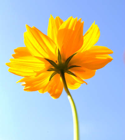 Yellow Cosmos flower and sky photo