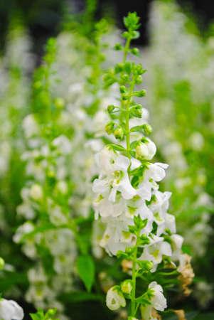 snapdragon: Angelonia flower