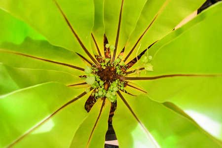 polypodiaceae:  Bird s nest fern