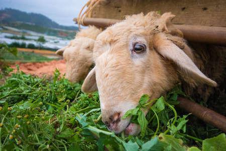 sheep eye: sheep eating grass
